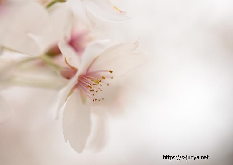 桜のマクロ撮影