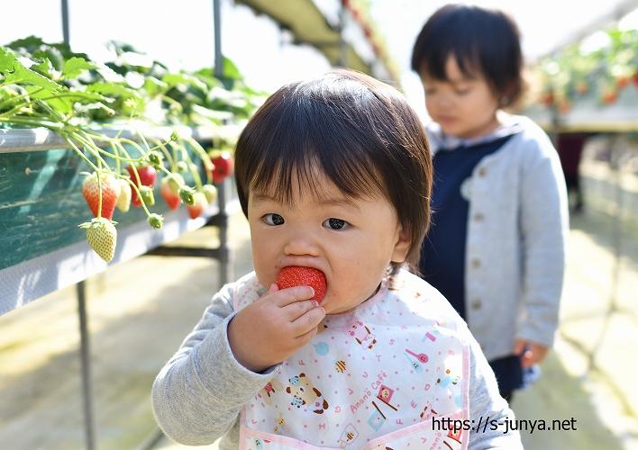 高設栽培イチゴ狩り