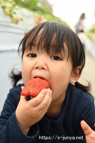 大きなイチゴを頬張る